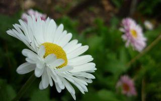 Бесплатные фото ромашка,лепестки,стебель,листья,зелень,растение,цветы