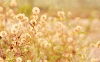 Бесплатные фото трава, поле, листья, стебель, пух, одуванчики, цветы