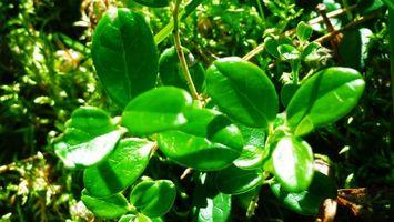 Бесплатные фото трава,растение,зеленое,стебель,лес,черника,макро