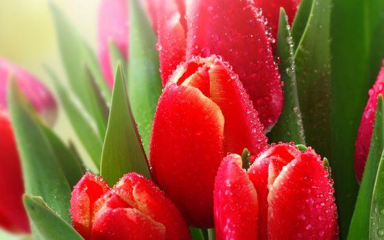 Фото бесплатно тюльпаны, капельки, росы