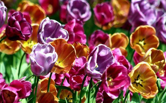 Фото бесплатно тюльпаны, клумба, букет