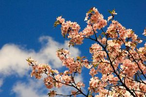 Фото бесплатно вишня, сакура, небо