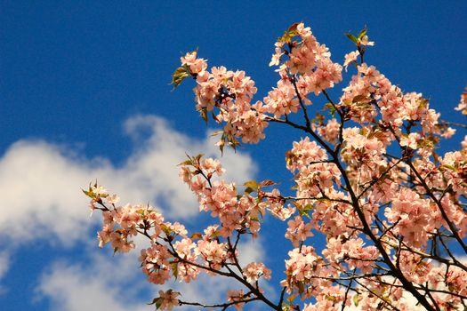 Бесплатные фото вишня,сакура,небо,цветы