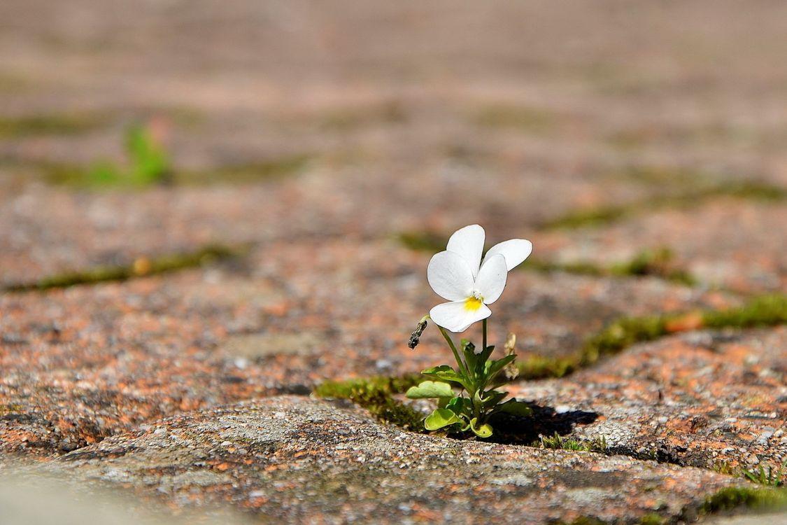 Фото бесплатно земля, дорога, листья, росток, лепестки, анютины глазки, белый, цвести, макро, цветы, цветы