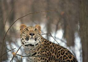 Бесплатные фото лес, взгляд, леопард, зима, снег
