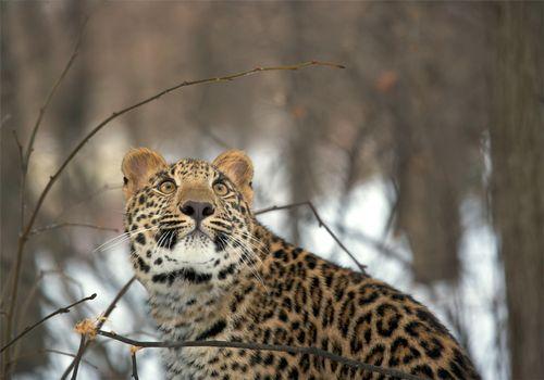 Заставки лес, взгляд, леопард