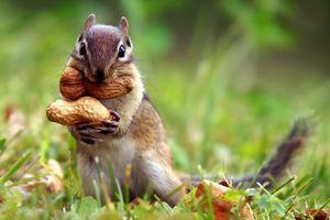 Фото бесплатно бурундук, арахис, запасается