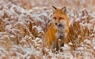 Заставки лиса, трава, зима