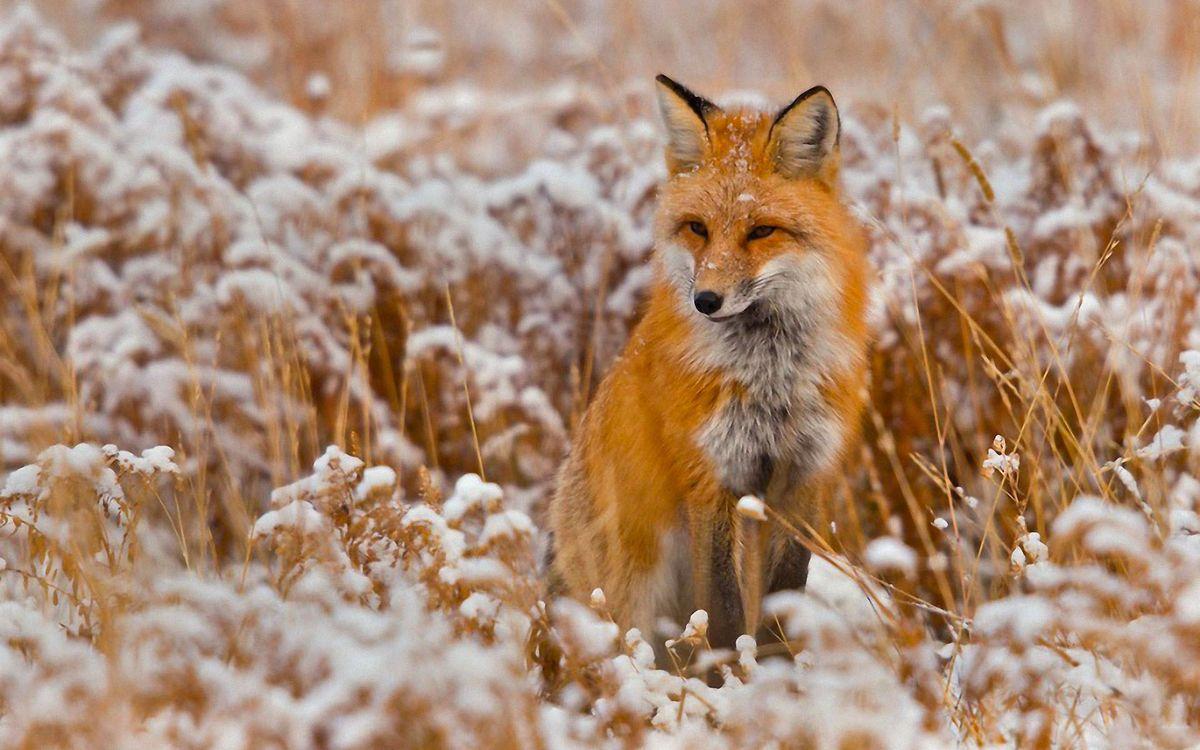 Фото бесплатно лиса, трава, зима - на рабочий стол