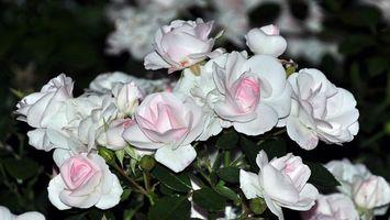 Фото бесплатно куст, розы, бело-розовые