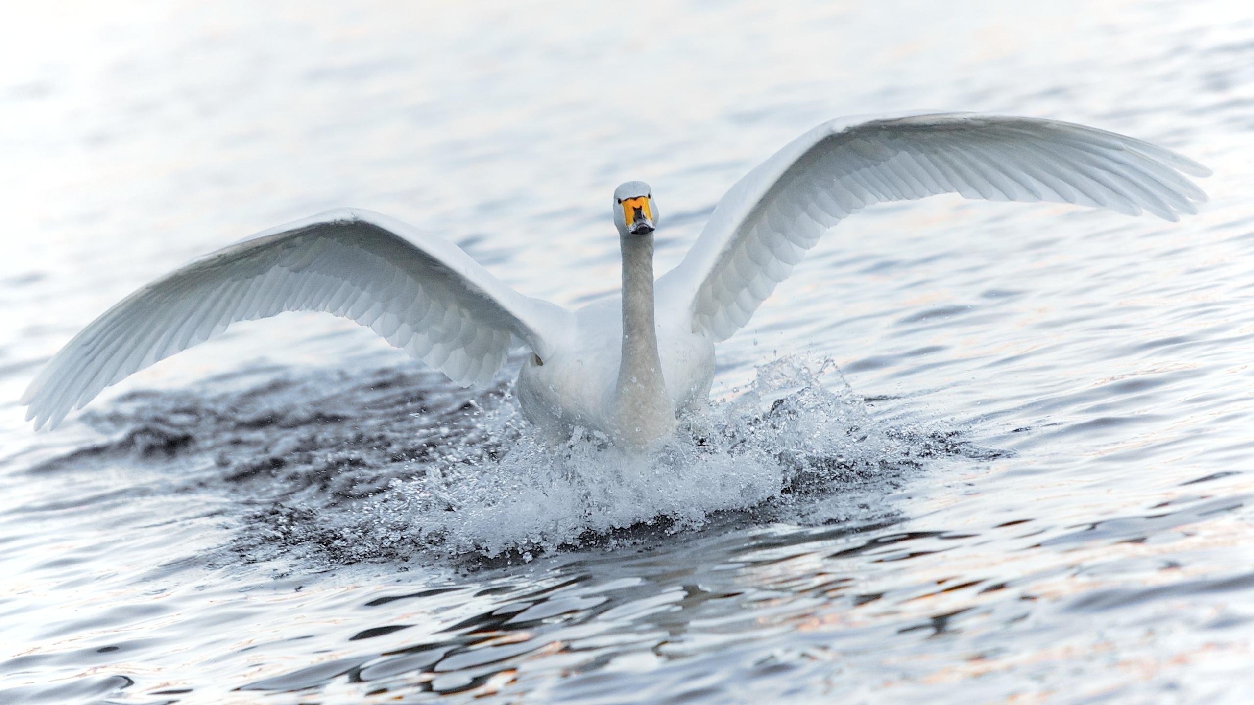 лебедь, белый, крылья