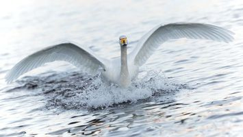 Photo free swan, white, wings