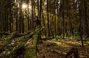 Фото бесплатно лес, чаща, солнце