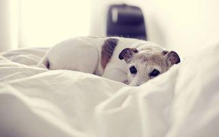 Бесплатные фото пес,глаза,взгляд,пятнистый,уши,одеяло,нос