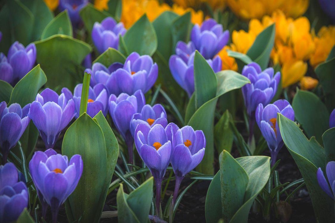 Фото бесплатно сиреневый, крокус, шафран, цветы