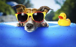 Бесплатные фото собака,очки,игрушка,утенок,круг,плавательный,юмор