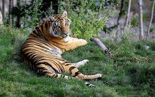 Бесплатные фото тигр,зверь,дикий,лес,трава,лежит,полоски