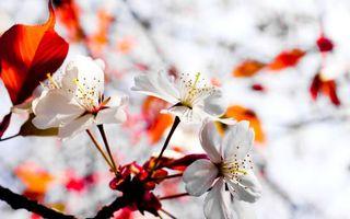 Бесплатные фото цветок,вишня,сакура,листья,лепестки,бутон,тычинка