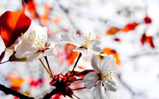Photo free flower, cherry, sakura