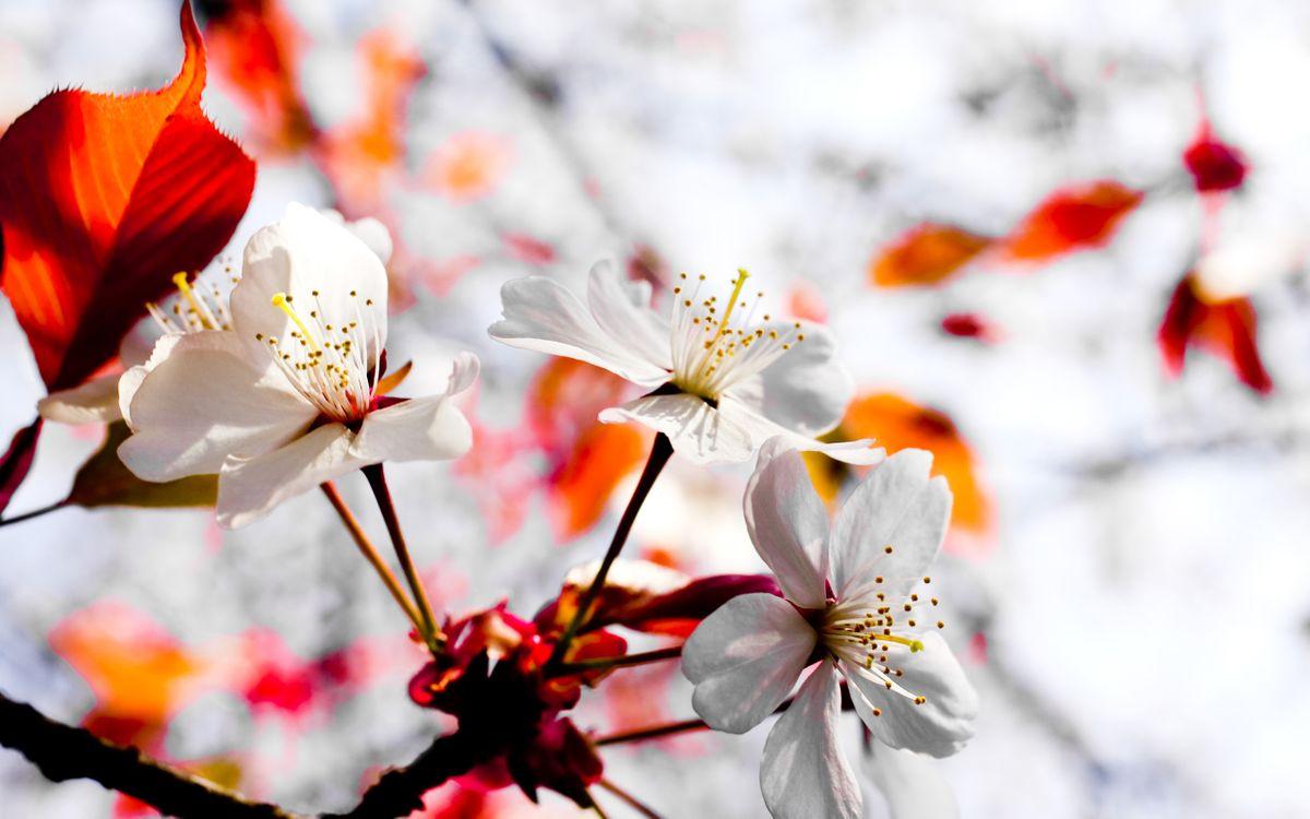 Фото бесплатно цветок, вишня, сакура, листья, лепестки, бутон, тычинка, фон, весна, тепло, красный, цветы, цветы
