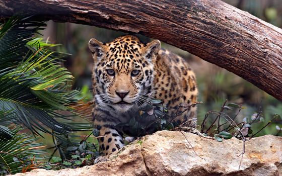 Photo free jaguar under a log, a predator, a rock stone