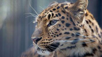 Фото бесплатно леопард, моська, пятна