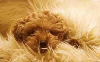 Фото бесплатно шерсть, одеяло, собака