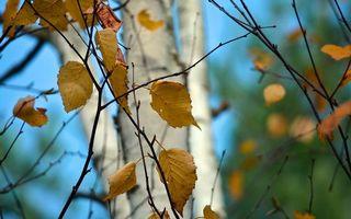 Фото бесплатно береза, листья, желтые