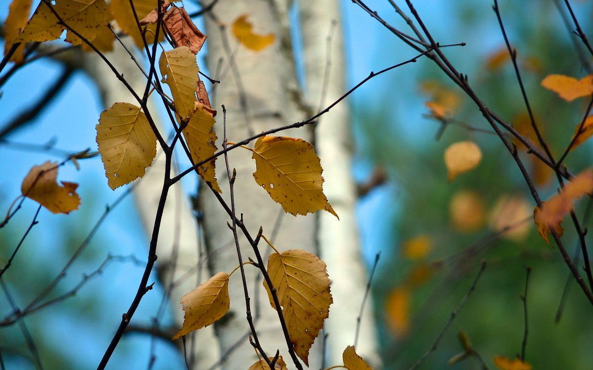 Фото бесплатно береза, листья, желтые, опадают, листопад, ветки, лес, деревья, макро, макро