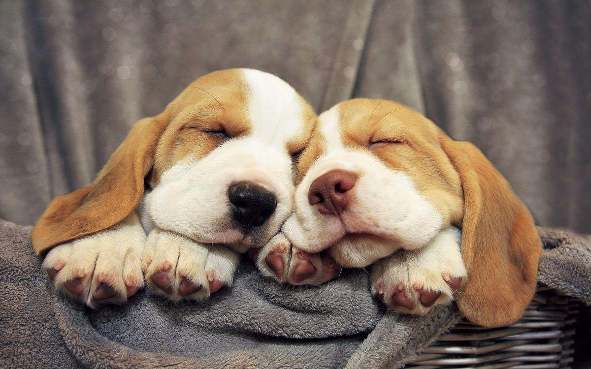 Фото бесплатно корзина, щенки, спят, мордочки, уши, лапы, собаки, собаки