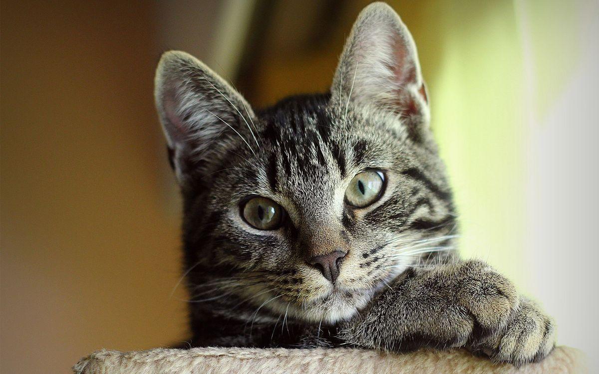 Фото бесплатно кот, серый, пушистый, глаза, нос, уши, усы, лапы, взгляд, кошки, кошки