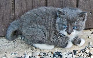 Фото бесплатно котенок, глаза, голубые