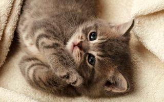 Бесплатные фото котенок,кот,маленький,пушистый,комочек,ребенок,кровать