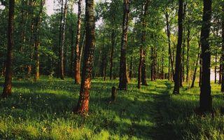 Бесплатные фото лес,россия,трава,березы,роща,кора,тропинка
