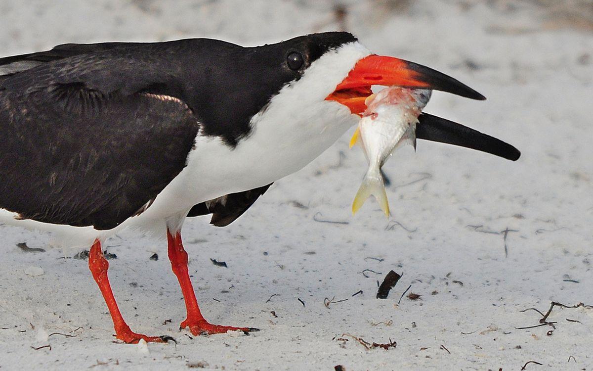 Фото бесплатно птица, перья, окрас, черно-белые, лапы, клюв, красные, рыба, песок, птицы