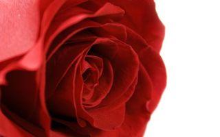 Бесплатные фото роза,лепестки,бутон,розовая,оранжевая,красная,бархатистая