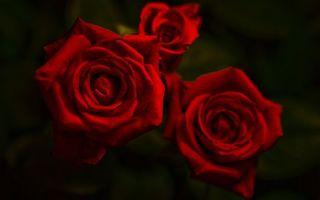 Бесплатные фото розы,три,красные,лепестки,фон,черный,цветы