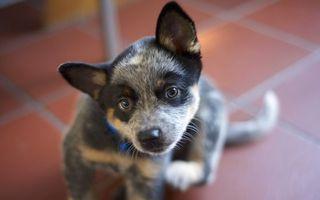 Бесплатные фото щенок,уши,лапы,хвост,глаза,взгляд,собаки