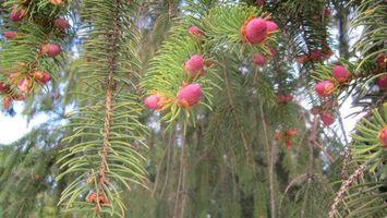 Бесплатные фото сосна,шишки,розовые,иголки,зеленые,ветки,природа