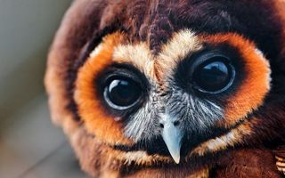 Photo free owl, feathers, plumage