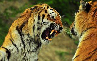 Заставки тигры, полосатые, оскал