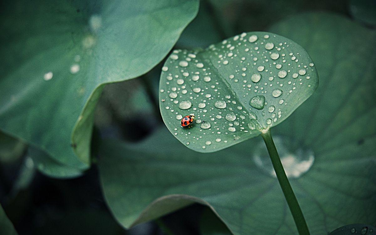 Фото бесплатно божья, коровка, лист, капли, роса, насекомые, насекомые - скачать