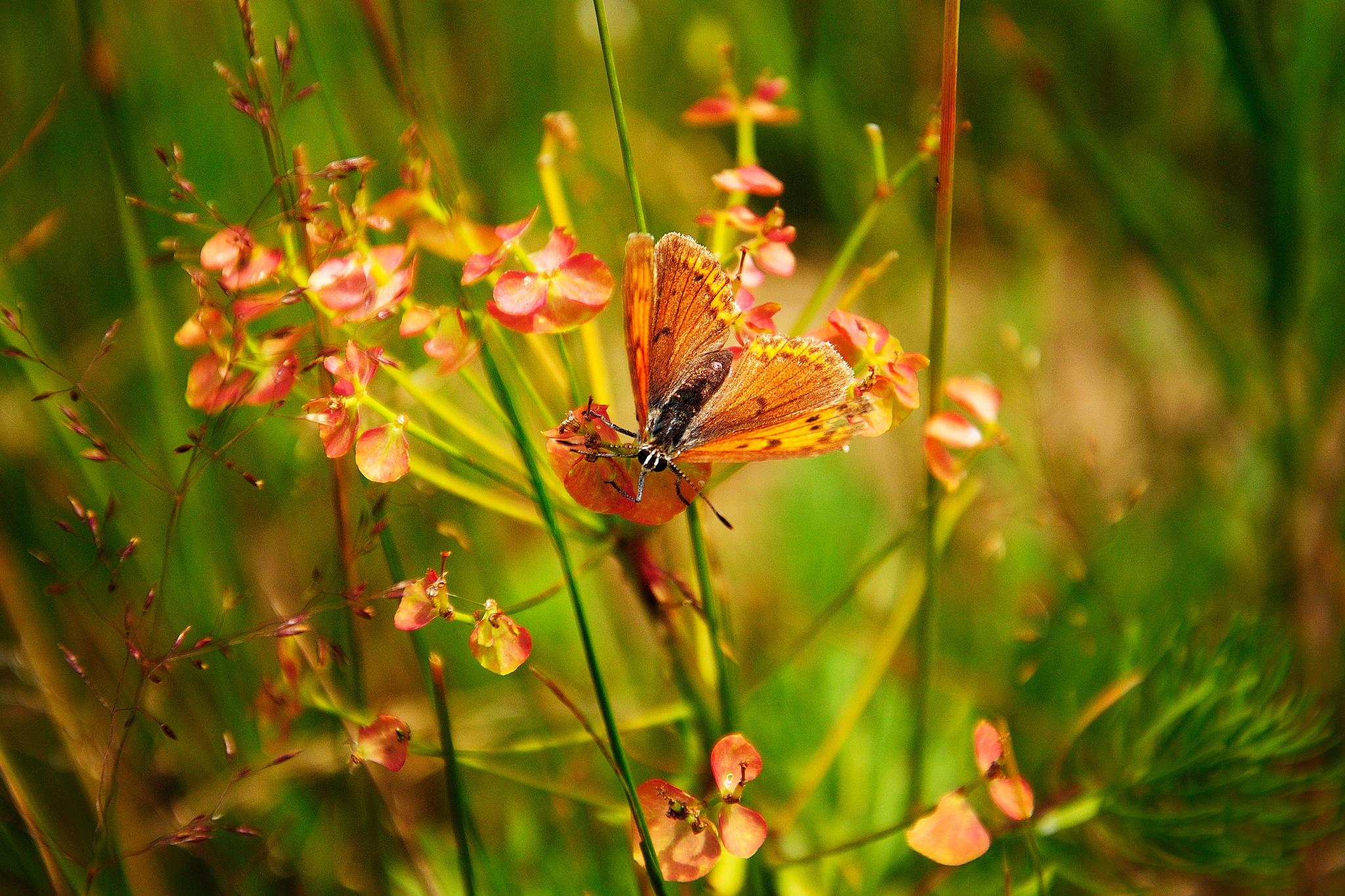 Обои цветы, бабочка, макро