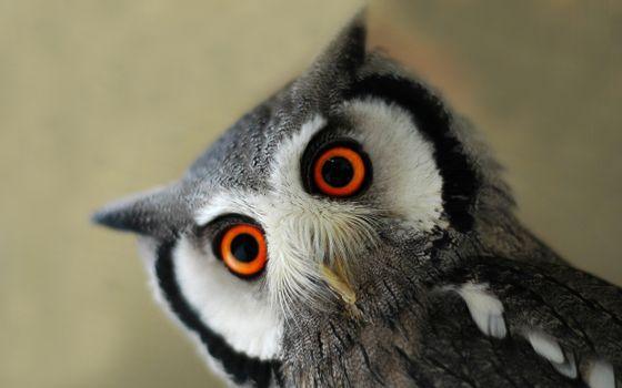 Заставки филин, большие, глаза