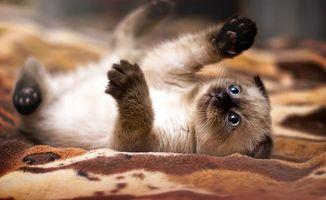 Бесплатные фото котенок,лапы,глаза,усы,рот,уши,животные