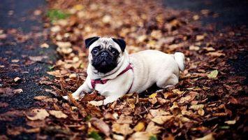 Photo free dog, pug, muzzle