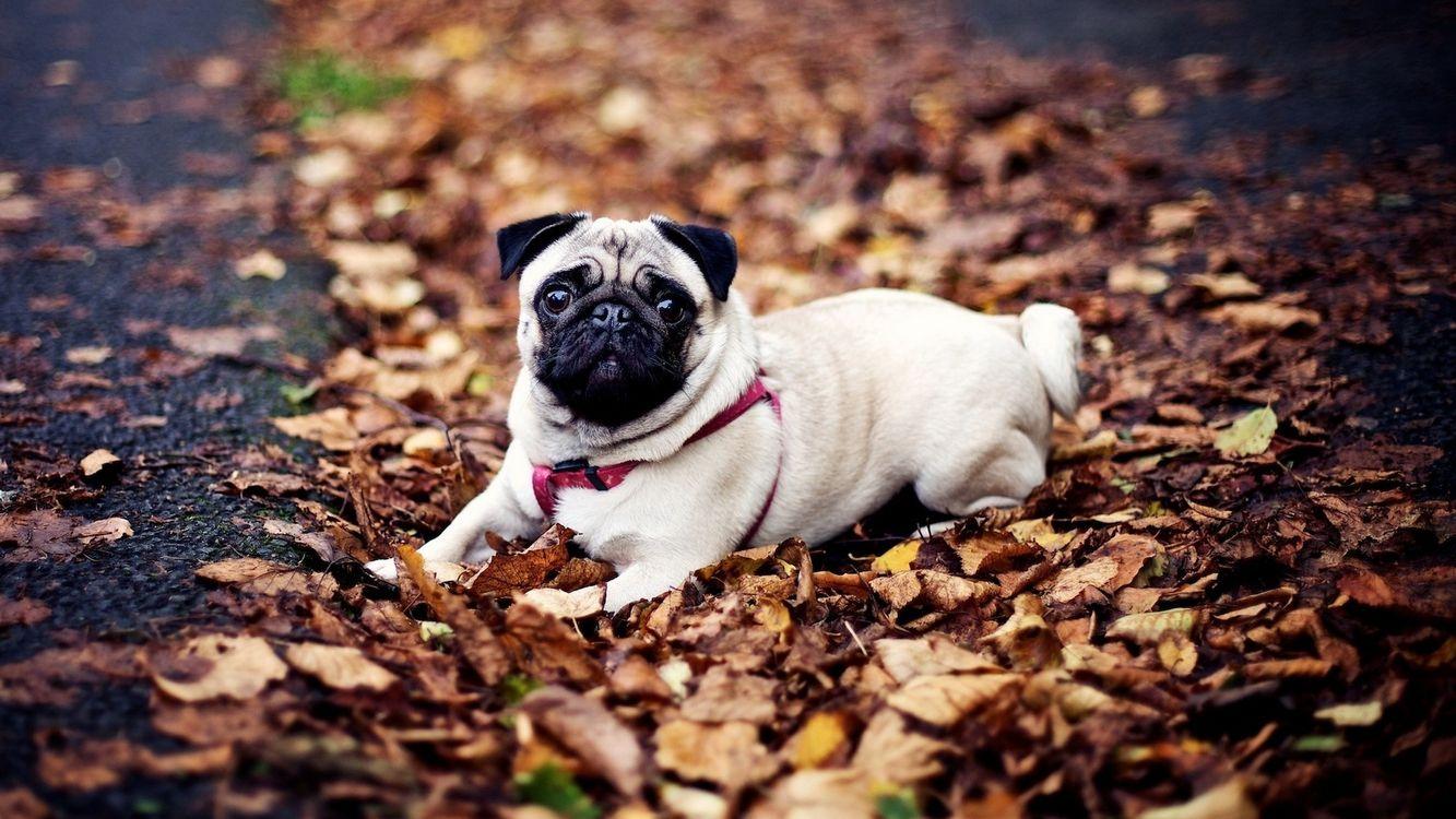 Фото бесплатно пес, мопс, морда, шлейка, листва, сухая, собаки, собаки - скачать на рабочий стол