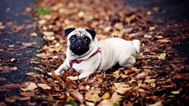 Бесплатные фото пес,мопс,морда,шлейка,листва,сухая,собаки