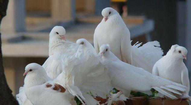 Photo free birds, flock, white
