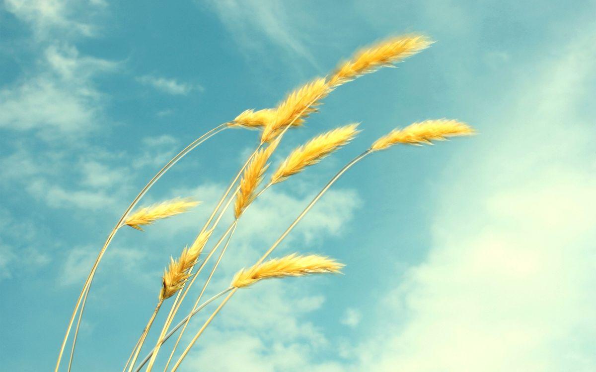 Фото бесплатно рожь, овес, колоски, колос, пшеница, урожай, поле, лето, небо, голубое, облака, пейзажи, природа, природа